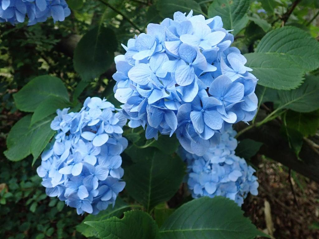 アジサイ(ちはや園地ではまだ美しく咲いています。)
