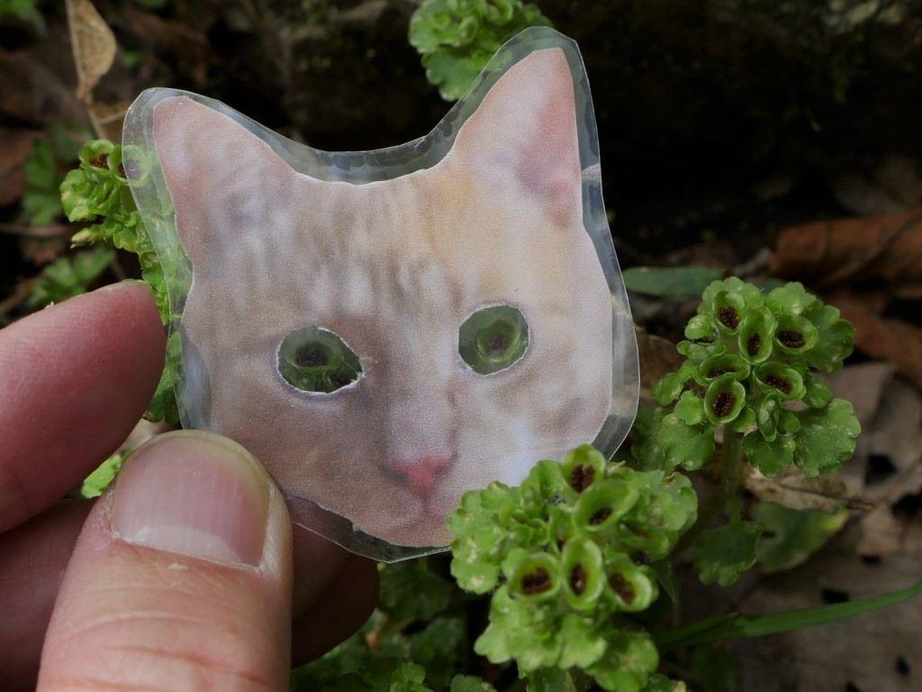 スタッフ手作り。ネコノメソウ観察キット。ほんとに猫の目みたいでしょ。