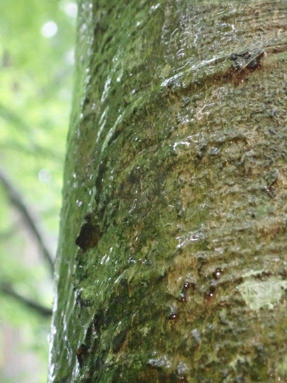 ブナの樹幹流