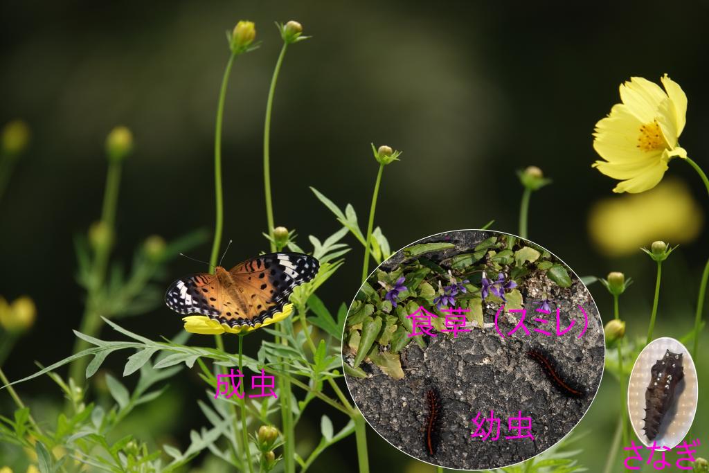 写真1-4 幼虫で越冬の例(ツマグロヒョウモン)