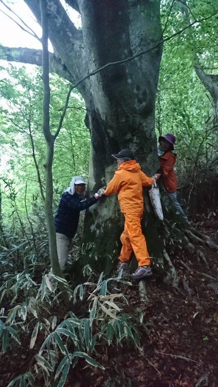 山頂近くのブナの大木