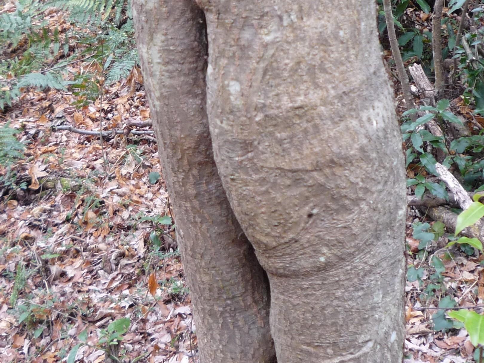 くろんど園地「おしりの木」  なかなかいい形のお尻です