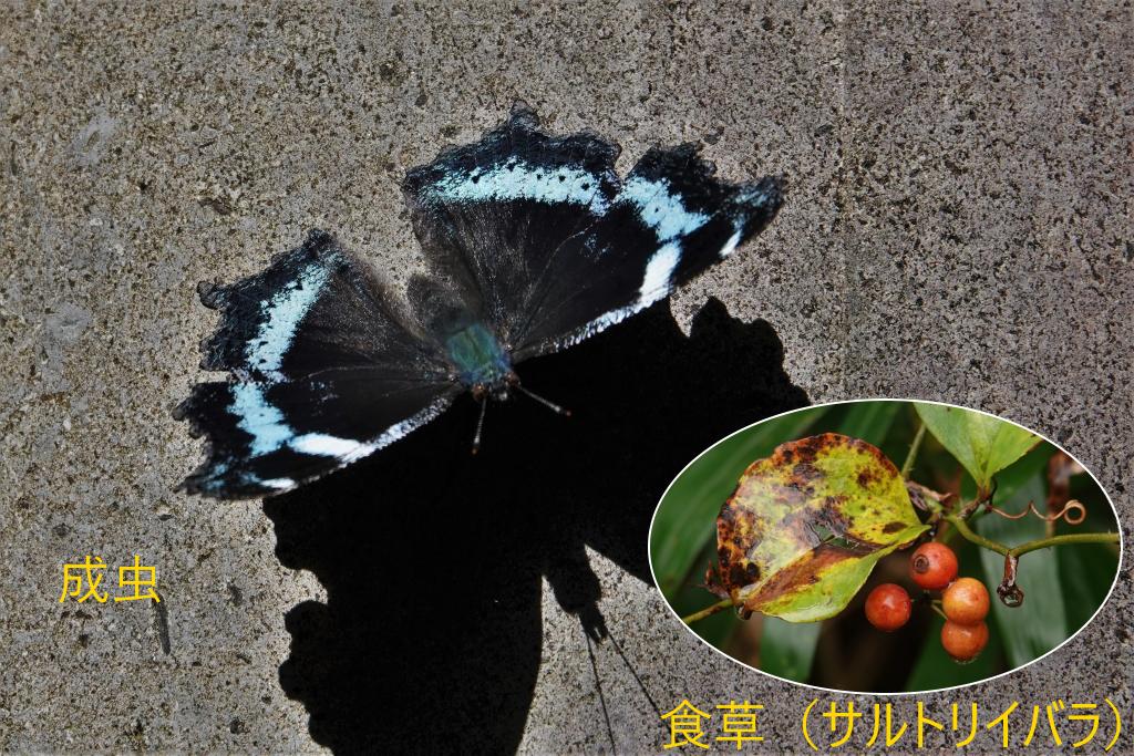 写真1-6 成虫で越冬の例(ルリタテハ)