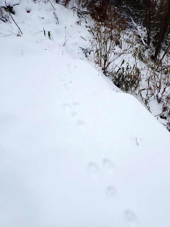 足跡 その3 これもウサギかな~