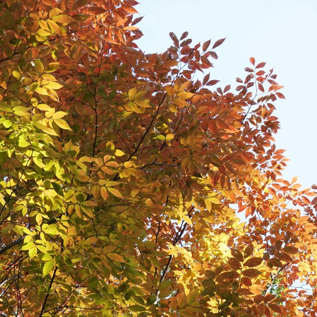 写真3-2 黄葉のケヤキ