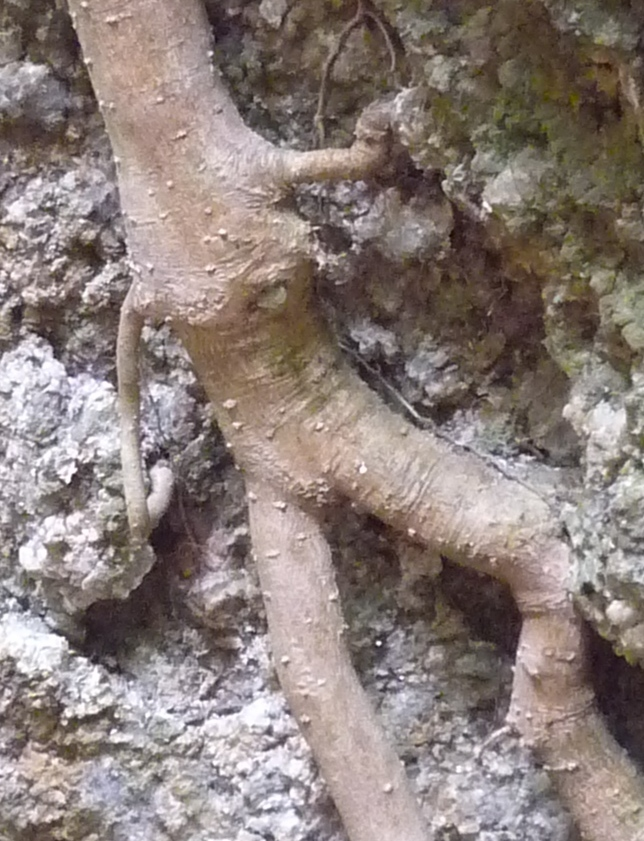 くろんど 「人体の木」まるで人型