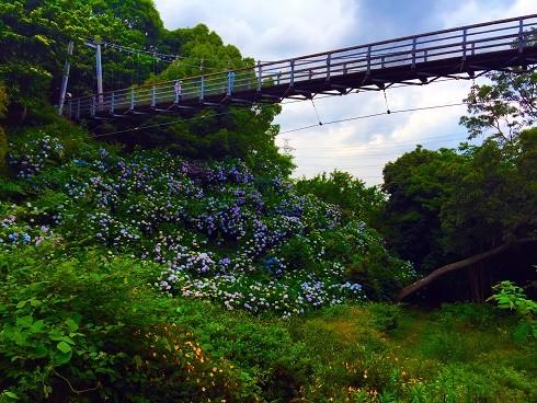 満開のアジサイと吊り橋