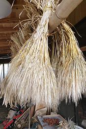 納屋で乾燥中の大麦
