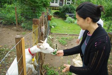 お隣さんのおじさんが飼っているヤギに餌をあげます