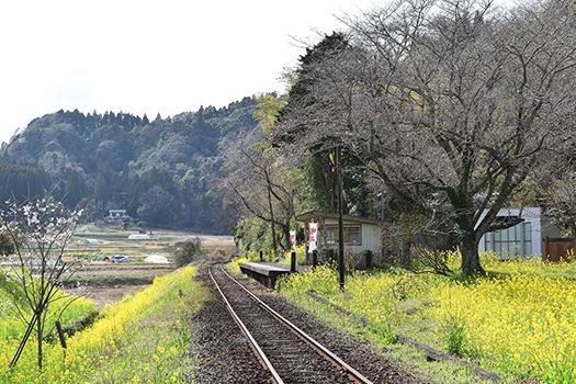 菜の花のあまーい香りに包まれて。旧白鳥小へはこの小湊鉄道・上総大久保駅から徒歩2分です