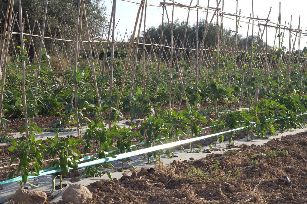 pimentons i  barraca de tomates ecoturis&Lapebrella