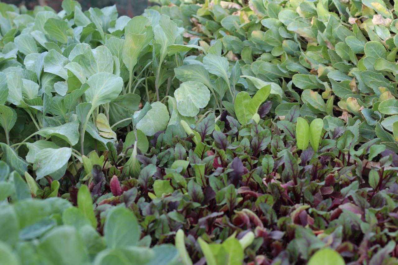Bandeja con coles y remolachas listas para plantar