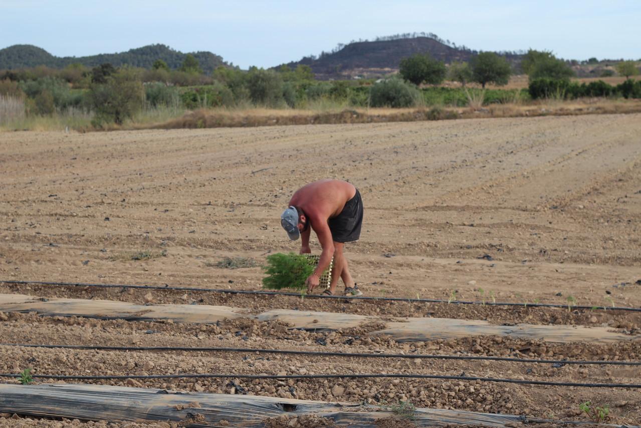 Pepe a primeros de septiembre preparando la plantación de hortalizas de invierno