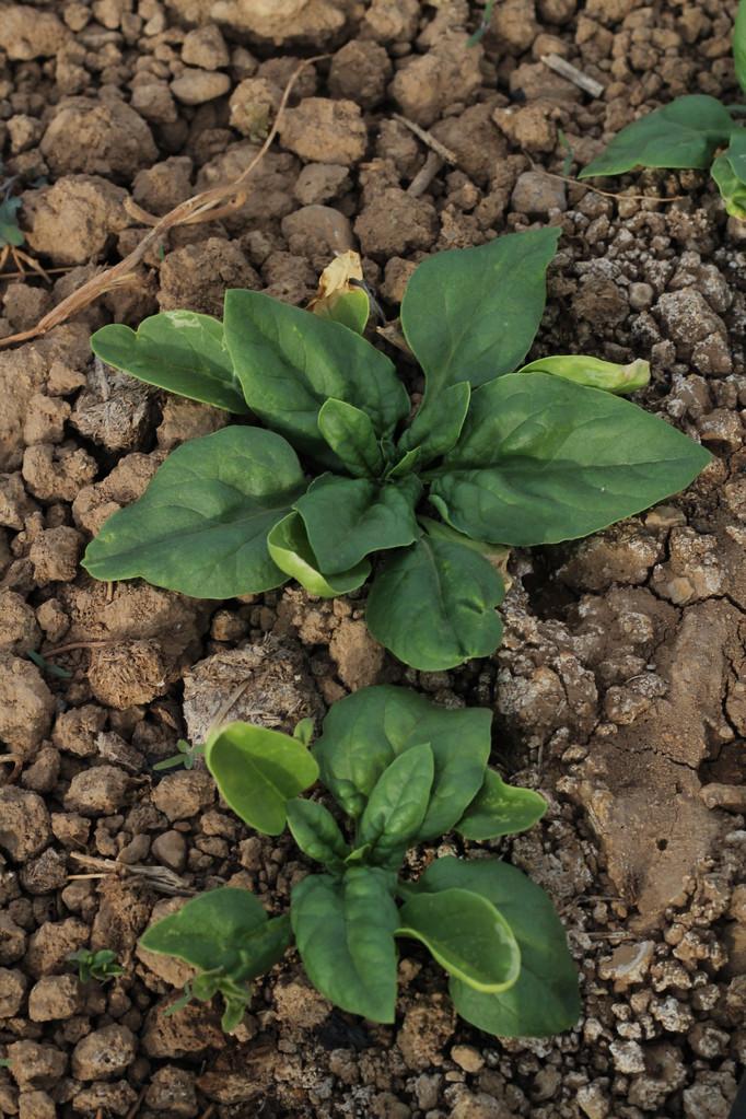Las espinacas creciendo pegadas al suelo