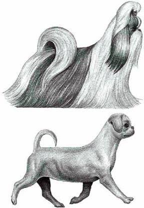 стандарт породы ши-тцу