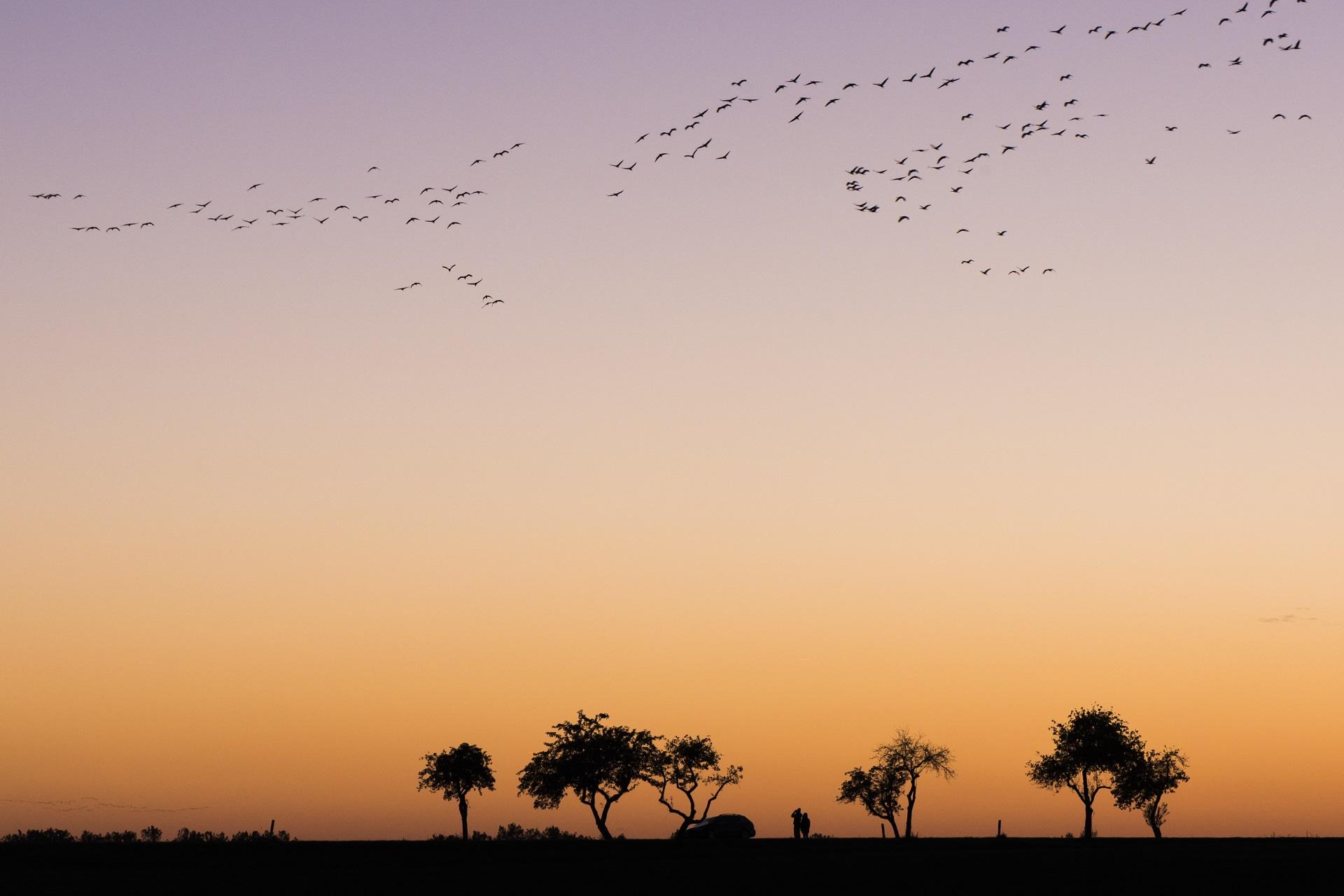 Die Kraniche fiegen im Gegenlicht der Abendsonne ihre Schlafplätze an ©  martinsieringphotography