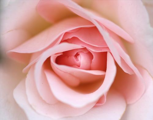 rosa Rose Nahaufnahme