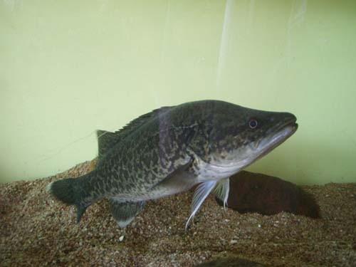 Perch/ Bass/ Grouper Maccullochella peelii, Murray cod