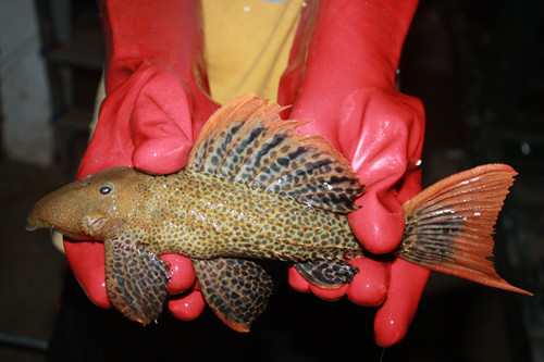 L 114 Pseudacanthicus sp. leopardus