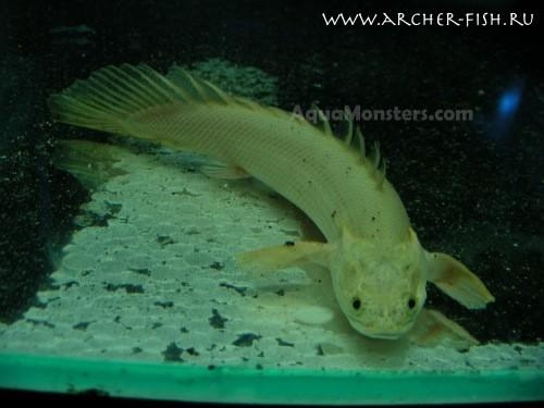 Platinum Polypterus ansorgii, Super rare!