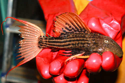 L 025 Pseudacanthicus sp. Sao Felix (красная морфа из Sao Felix)