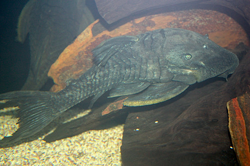 Panaque Suttoni. Взрослый самец