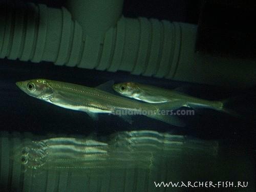 Elopichthys bambusa, SS , 6 cm (Максимальный размер - 2 м.)