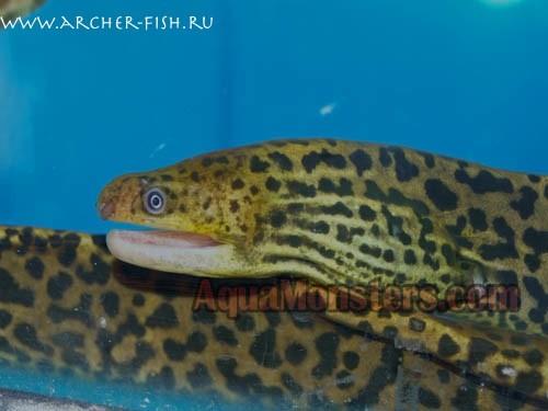 Gymnothorax polyunarodon, Tiger eel