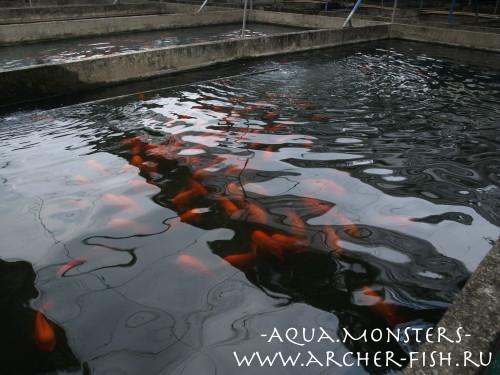 В таких каменных бассейнах и выращивают на Тайване настоящих Кинг-Конгов!