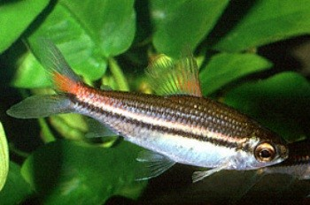 Nannaethiops unitaeniatus