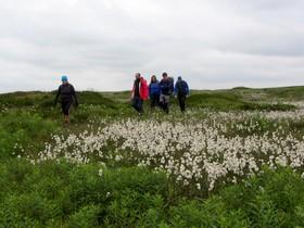 Walking through Cotton Grass on Bleaklow