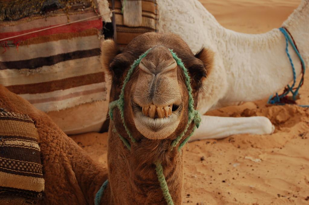 Das lachende Kamel
