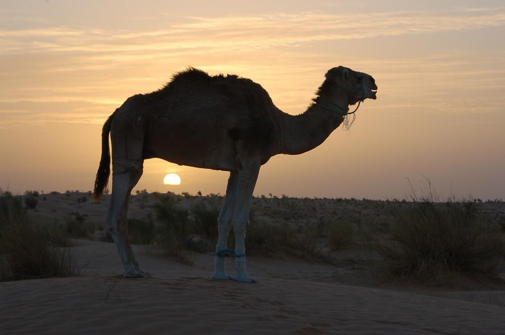 Kamel in der Morgensonne