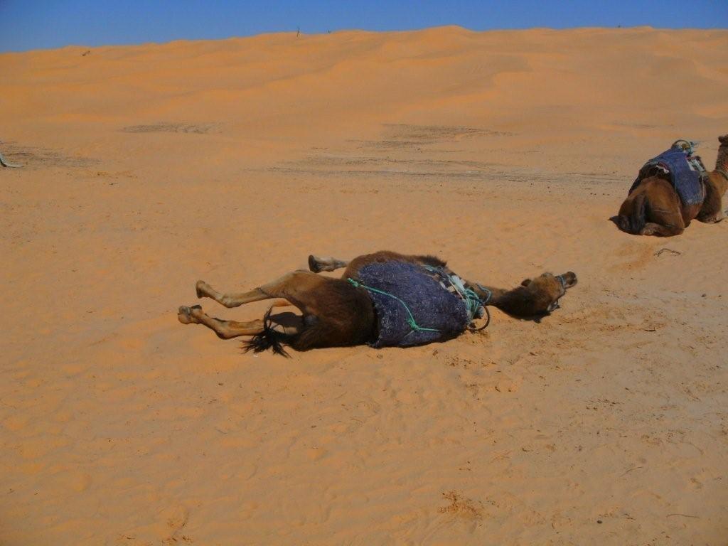 Dem Kamel juckt das Fell