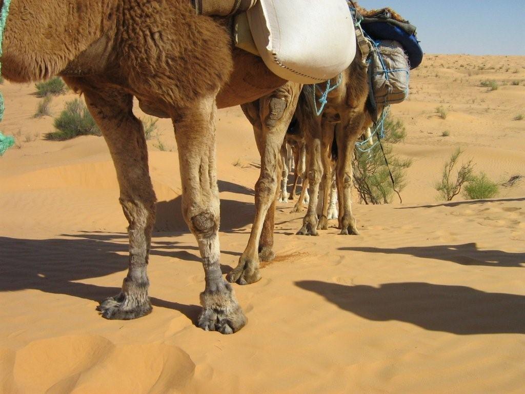 Kamelbeine aus einer snderen Perspektive