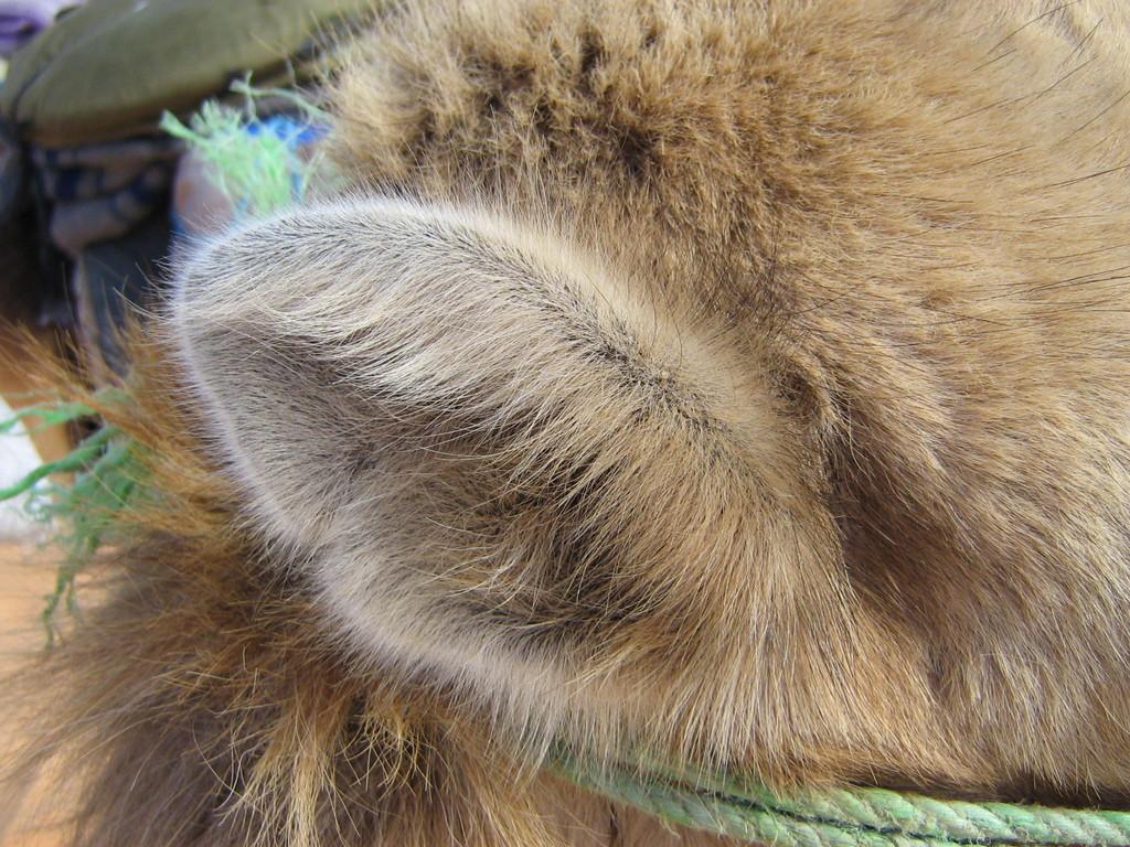 Ein Kamelohr aus der Nähe