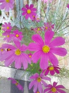 玄関先で咲いてる野良コスモス(勝手に咲いてます)