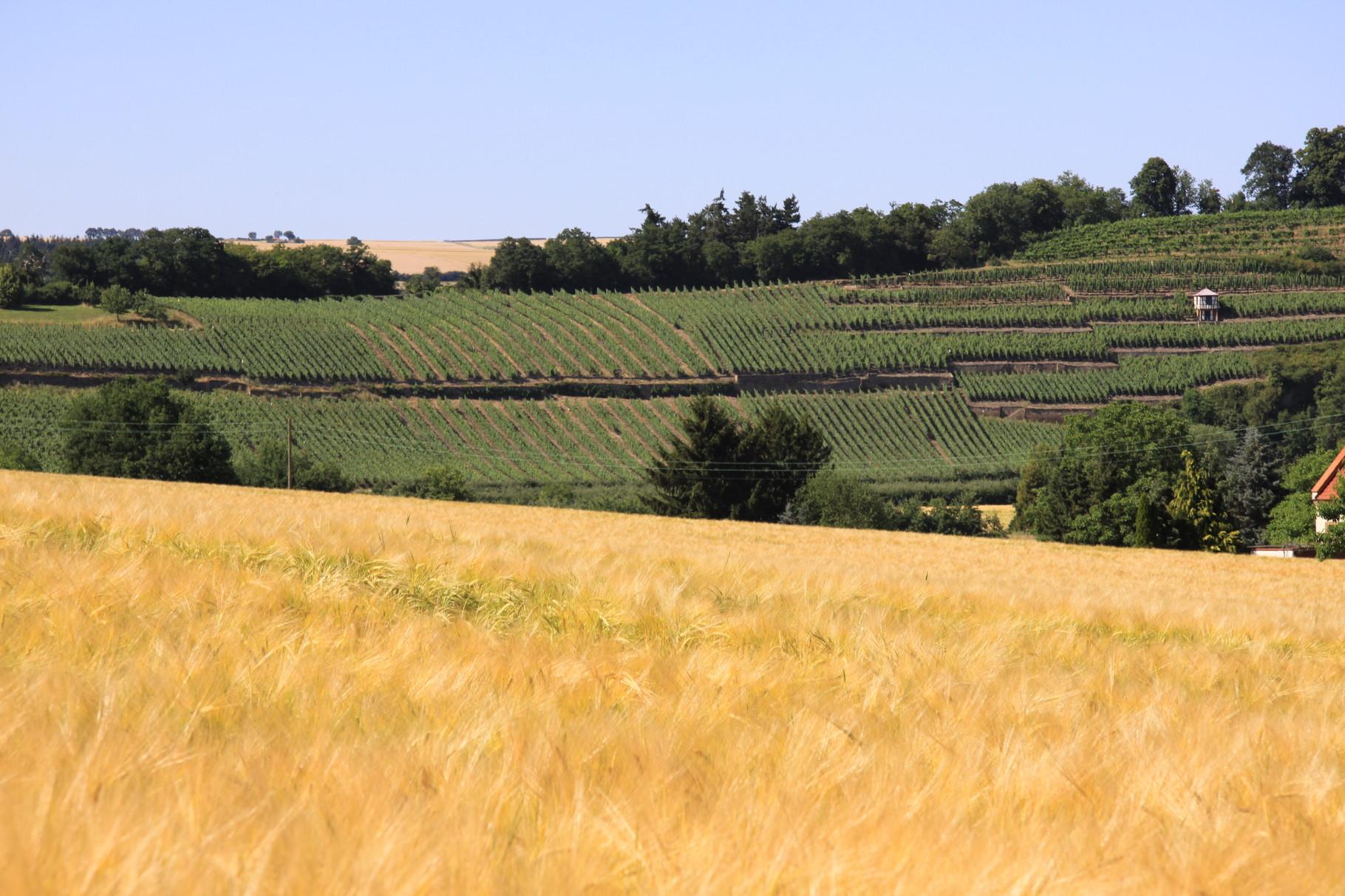 Blick auf die Disibodenberger Weinlagen
