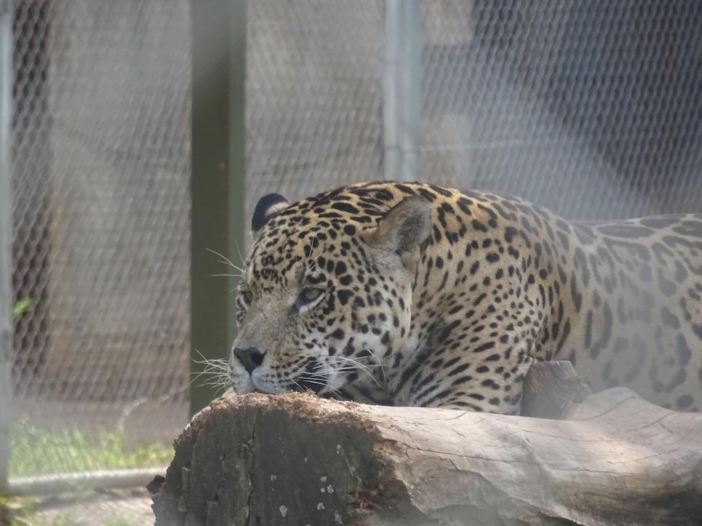 Was denkt sich wohl dieser Jaguar?
