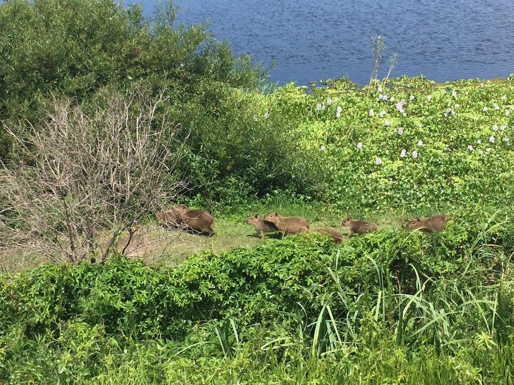 viele Capybaras-Familien halten sich in der Laguna auf