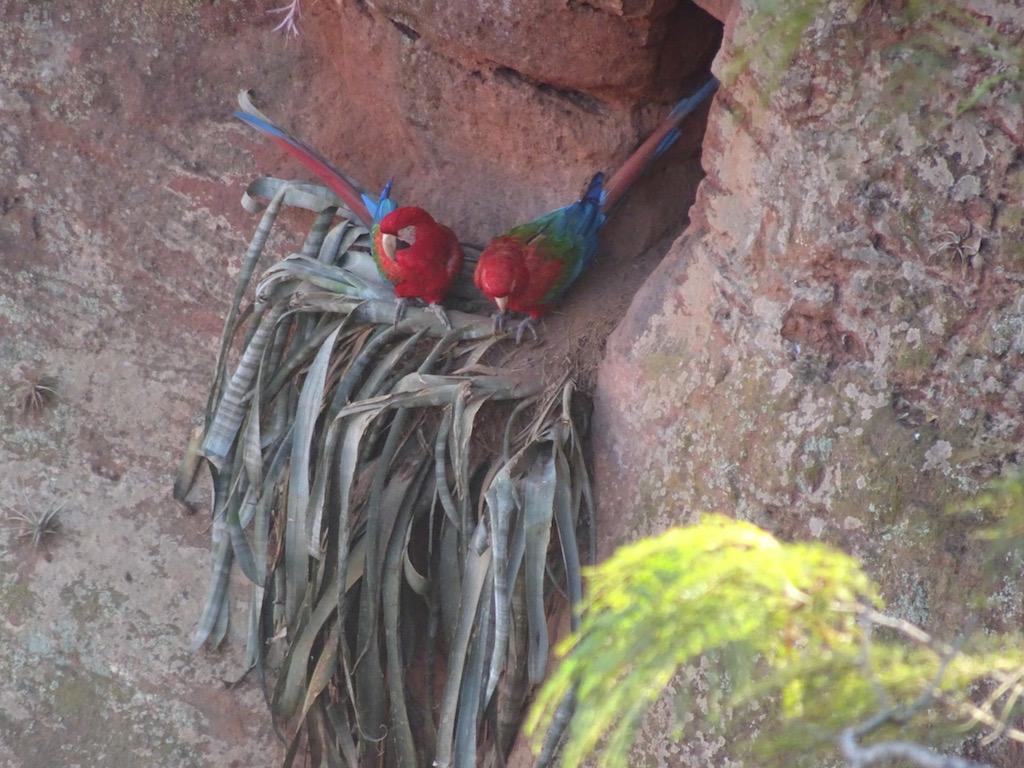 Geschützt in der Doline bauen sich die Aras ihre Nester!