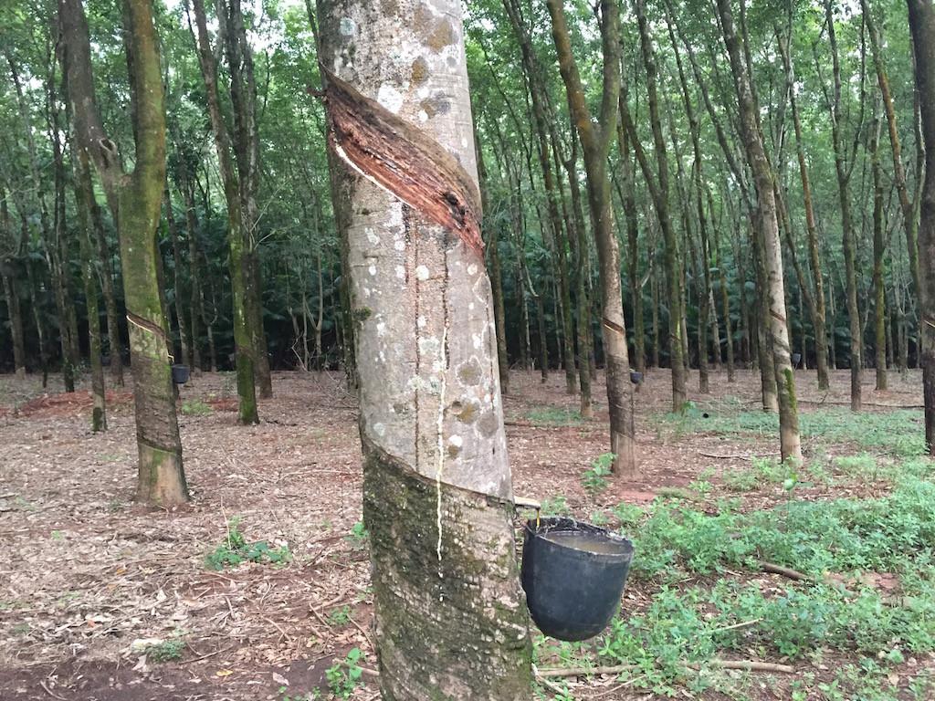 Ausflug zum Kautschukwald am Rio Tietê