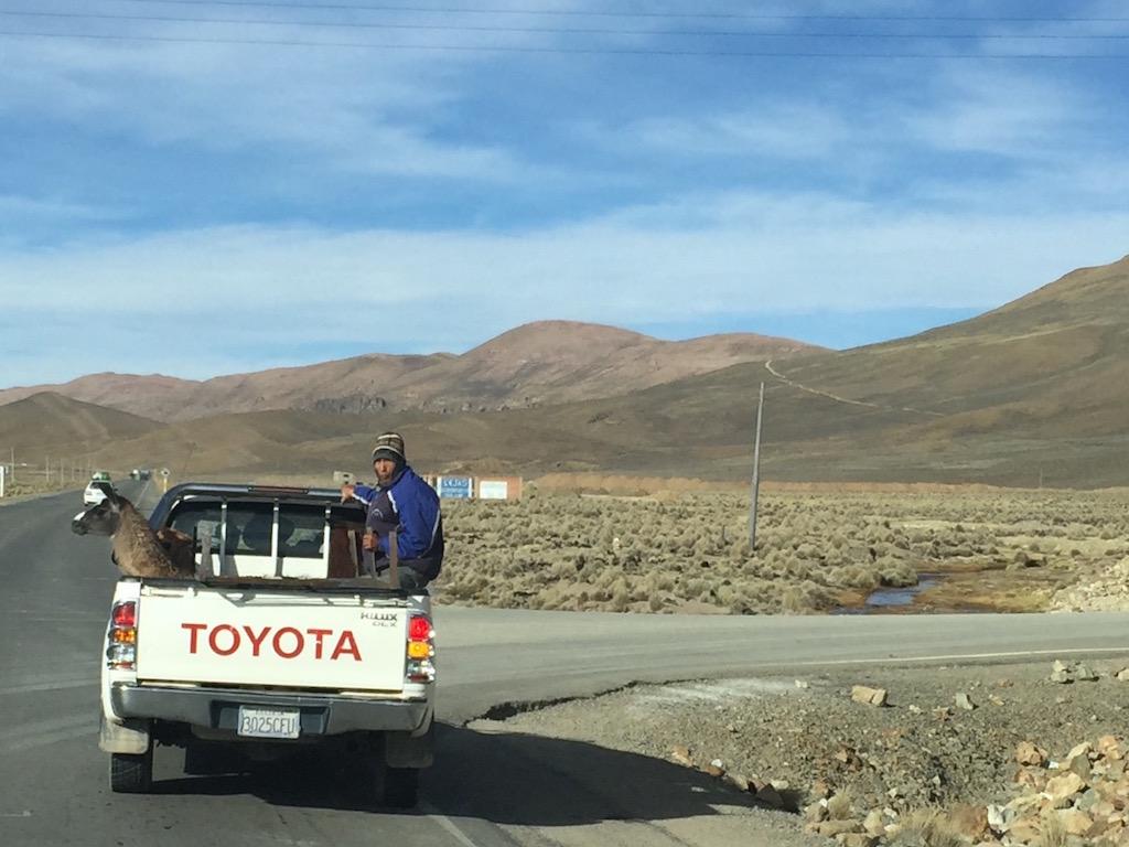 .... und so werden die Lamas transportiert....