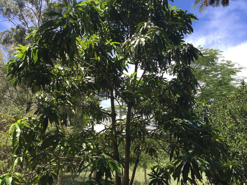die meisten Mangos sind aber schon gepflückt.