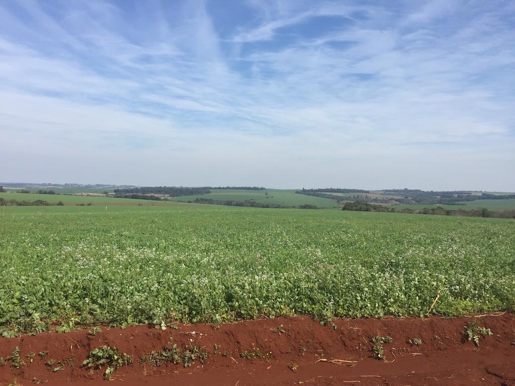 Steviaplantage (Zuckerersatz) auf der Route nach Yguazú