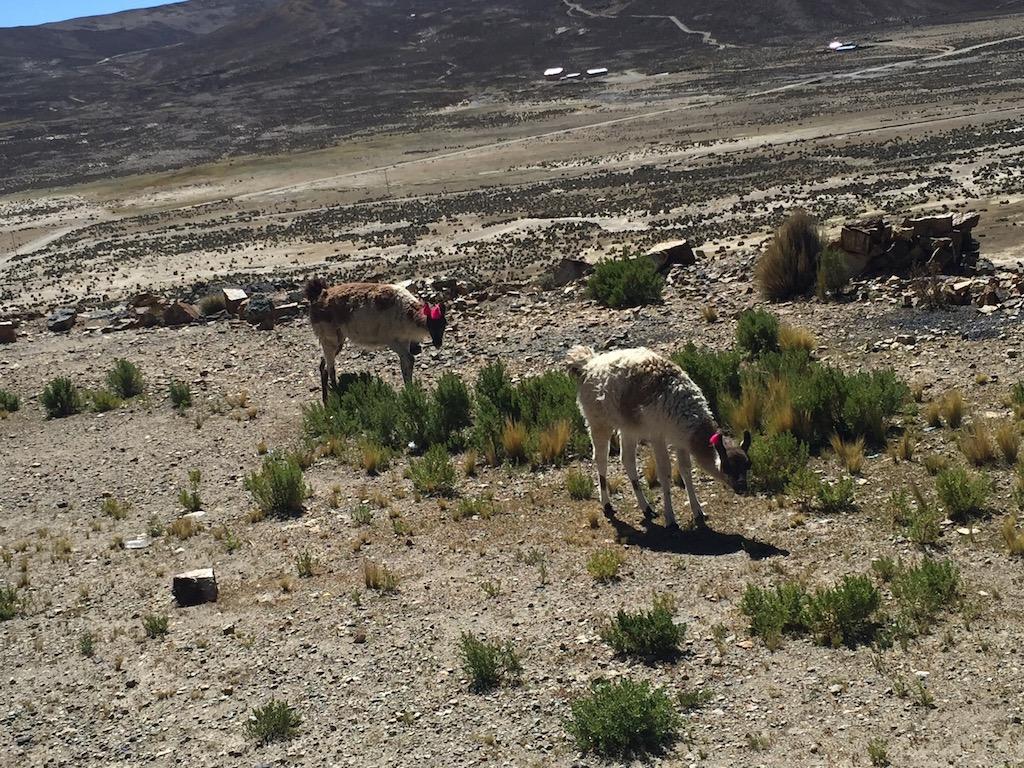 Lamas und Vicunajas begleiten uns über das Massiv nach Potosí