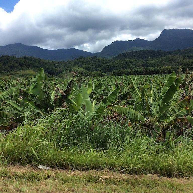 Bananenplantagen, soweit das Auge sieht