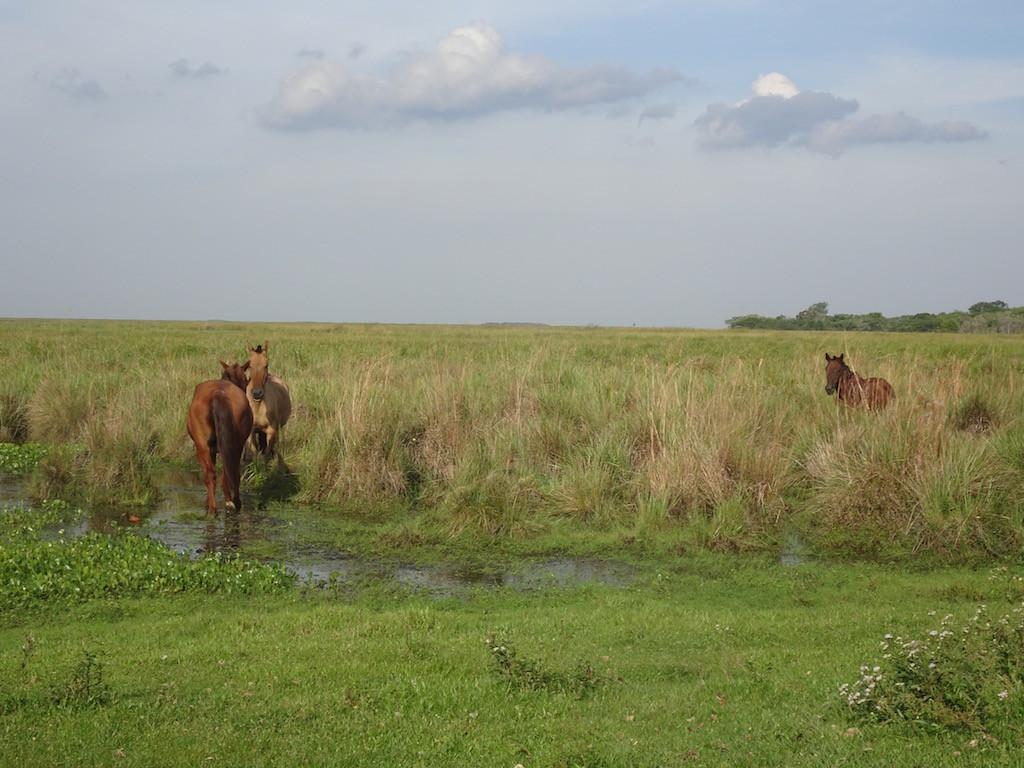 gemütlich traben die Pferde über die Matten und