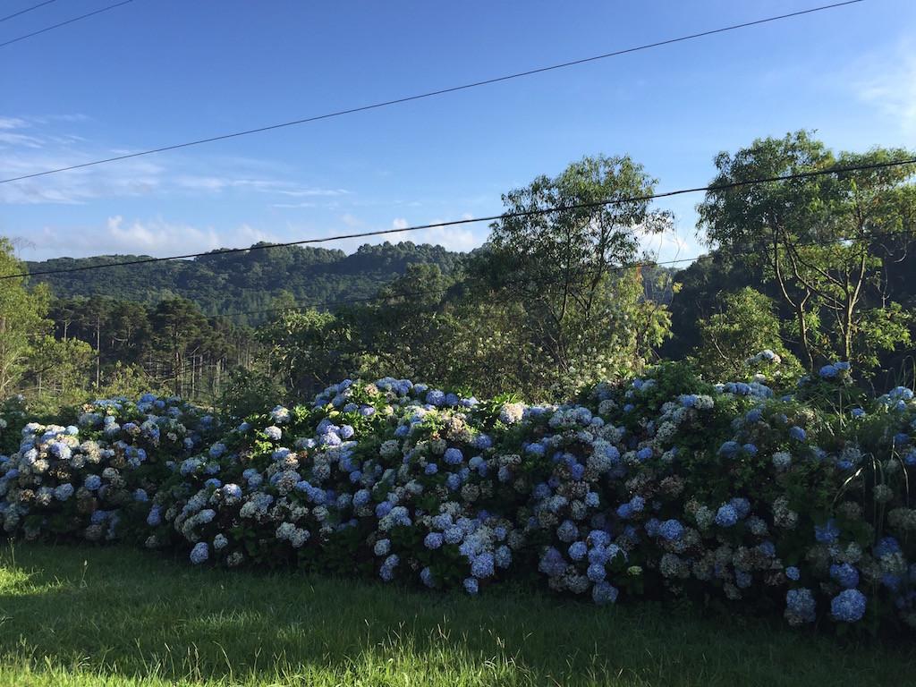 Hortensien begleiten uns die letzten Kilometer nach Gramado hinauf