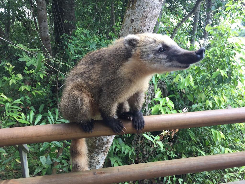 Familie Nasenbär ist präsent - wo gibt es wohl etwas zum Naschen?